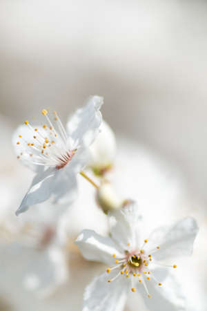 Soft background of innocent white cherry blossoms, selective focus Stock Photo
