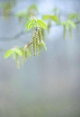 Delicate green leaves and blossoms of a hornbeam tree in spring, background image, selective focus Stock fotó