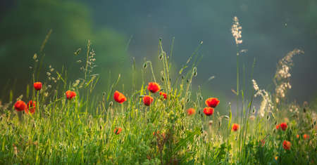 Red Poppies in Natural Meadow, selective focus