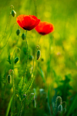 Detail of red poppies at Wildflower Meadow, selective focus