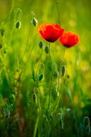Wildflower Meadow with red poppies, selective focus