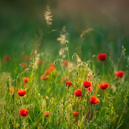 Natural wildflower meadow with red poppies, selective focus