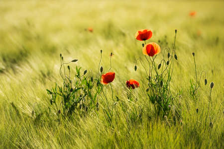 Field of Barley with red poppies, selective focus