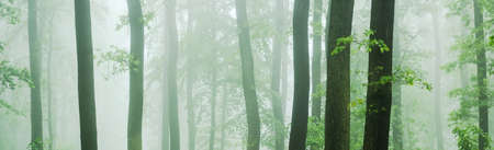 Panorama of Beech and Oak Forest at Thick Fog Stock fotó