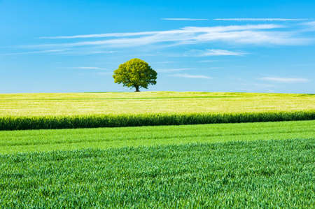Rural Landscape of Green Fields under blue sky in spring, on the horizon of a solitary oak tree Stock fotó