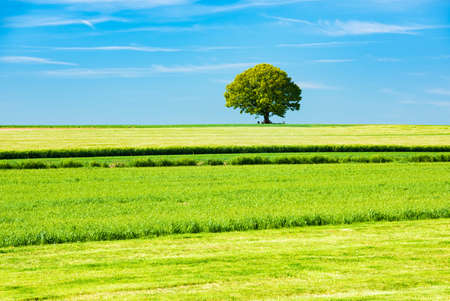 Green fields under blue sky in spring, solitary tree on the horizon