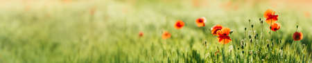 Panoramic Background of Green Barley Field with Red Poppies, selective focus Stock fotó