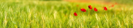 Panorama of Red Poppies at Green Barley Field, selective focus