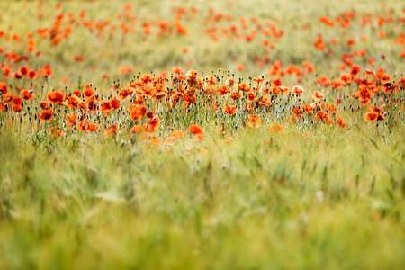 Field of Barley full of red poppies, selective focus Stock fotó