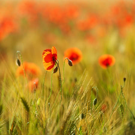 Red Poppies in Field of Barley in the warm light of the sun rising, selective focus