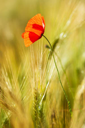 Single red poppy at Field of Barley, selective focus Stock fotó