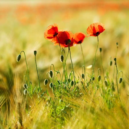 Field of Barley with red poppies, selective focus, warm lighting Stock fotó