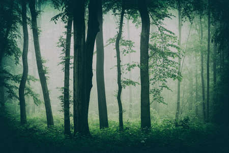 Haunted Forest of Beech Trees with Fog Фото со стока