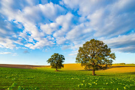 Green field with Old Solitary Oak Tree under blue sky in the warm light of the setting sun