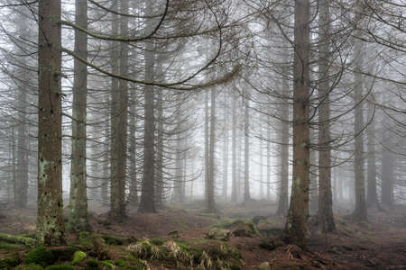Spruce tree forest in thick fog Imagens