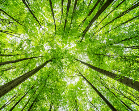 Green Forest of Beech Trees, looking up, low angle shot Archivio Fotografico