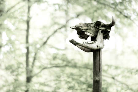 Cattle skull on wooden pole, Prehistoric pagan sacrifice, black and white