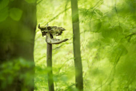 Prehistoric pagan sacrifice place, cattle skull on wooden pole deep in the green forest
