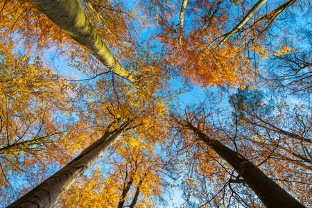 Forest of colorful Beech Trees against bright blue sky in autumn, looking up from below