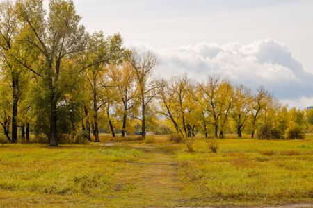 fall trees: Field and poplar grove in autumn dress bright in cloudy weather