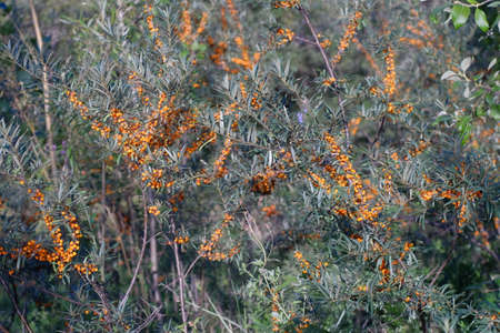 seabuckthorn: Branches of sea-buckthorn with ripe orange berries Stock Photo