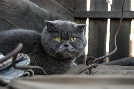 grey cat: Grey cat with yellow eyes