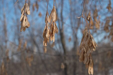 ash tree: Dry seeds of the ash tree
