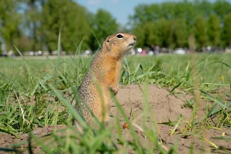undulatus: ong-tailed ground squirrel (Spermophilus undulatus)