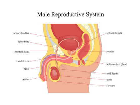 Male reproductive system.Vector illustration. Vettoriali