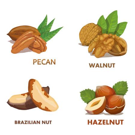 Hazelnut. Brazilian nut. Pecan nut. Walnut. Nut food. Isolated on white background. Healthy nutrition. Illustration