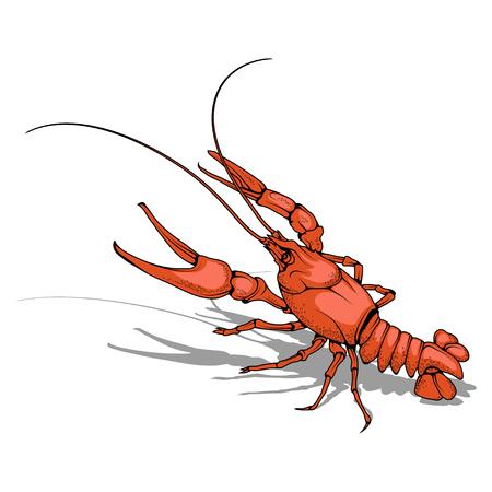 Vector image of crayfish. Isolated on white background.
