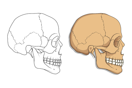 Illustration de crânes humains. Vecteurs