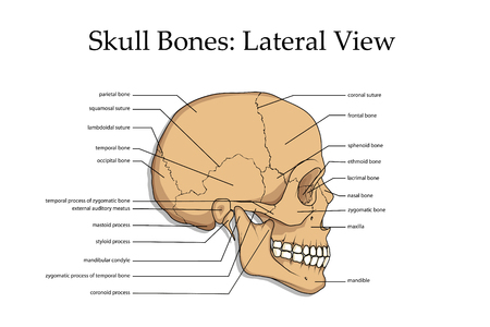 Human skull lateral view poster.