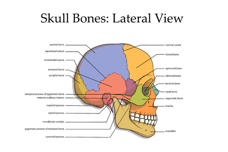 Menselijke schedel zijaanzicht poster.