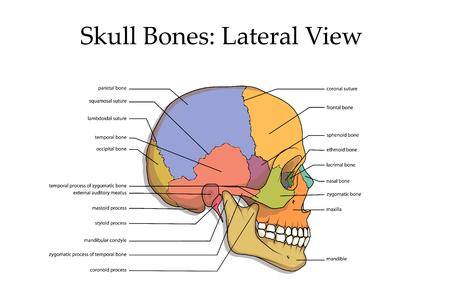 Plakat widok boczny ludzkiej czaszki.