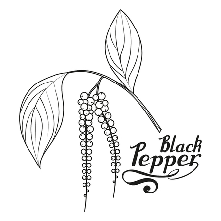 hand drawn black pepper, spicy ingredient, black pepper logo, healthy organic food, spice black pepper on white background, culinary herbs, label, food, natural healthy food, vector graphic to design. Stock Illustratie