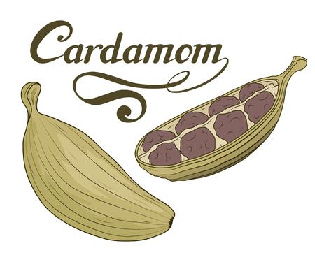 Hand gezeichnete Kardamom Pflanze, würzige Zutat, Kardamom Logo, gesunde Bio-Lebensmittel, Gewürz Kardamom isoliert auf weißem Hintergrund, Küchenkraut, Etikett, Lebensmittel, natürliche Gesundheit Lebensmittel, Vektorgrafik zu entwerfen.