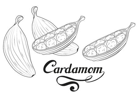 ręcznie rysowane kardamon roślina, pikantny składnik, logo kardamonu, zdrowa żywność ekologiczna, kardamon przyprawy na białym tle, kulinarne zioło, etykieta, żywność, naturalna zdrowa żywność, grafika wektorowa do projektowania.