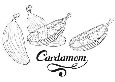 hand drawn cardamom plant, spicy ingredient, cardamom logo, healthy organic food, spice cardamom isolated on white background, culinary herb, label, food, natural health food, vector graphic to design.
