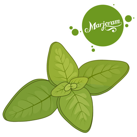 Hand drawn marjoram leaves on white background, culinary herbs, label, food, natural. Stock Illustratie