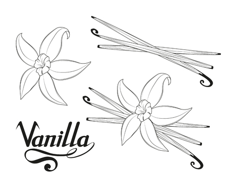 hand drawn vanilla beans, spicy ingredient, vanilla flower logo, healthy organic food, spice vanilla on white background, culinary herbs, label, food, natural healthy food, vector graphic to design Vectores