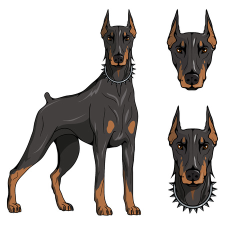 doberman pinscher, american doberman, pet logo, dog doberman, colored pets for design, colour illustration suitable as logo or team mascot, dog illustration, vector graphics to design Ilustrace