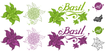 hand drawn basil leaves, spicy ingredient, green basil logo, healthy organic food, spice basil isolated on white background, culinary herbs, label, food, natural healthy food, vector graphic to design Иллюстрация