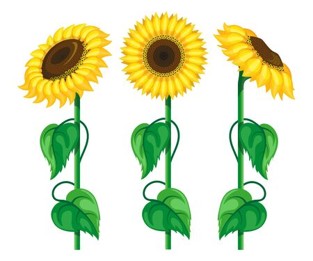 Sunflower set. Floral background. Sunflowers with seeds. Garden. Organic plant. Sunflower in different angles. Nature products. Botanical. Sunflower oil. Vector graphics to design