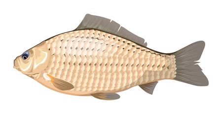 Karausche. Ein Süßwasserfisch, der Karausche. See- oder Flussfischarten von Carassius oder Goldfischen. Isoliertes Symbol für Fischrestaurant-Zeichen oder -Emblem, Angelclub oder Fischereimarkt. Vektorgrafik