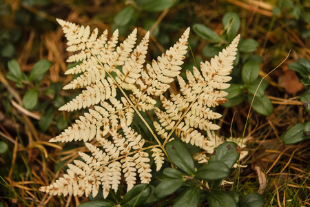 yellowing: Yellowing leaves of fern Stock Photo