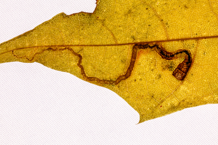 fragment: Fragment maple leaf