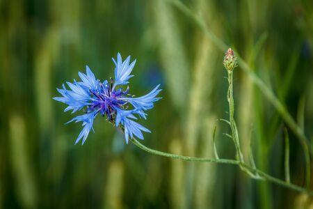 fiordaliso: Cornflower in the meadow