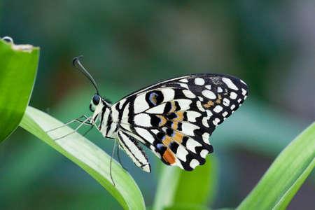 papilio: Papilio demoleus butterfly