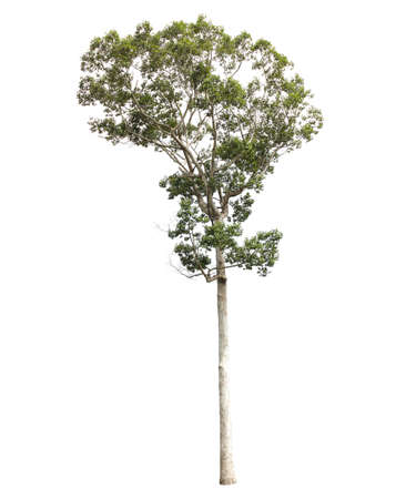 bole: Tree isolated on white background
